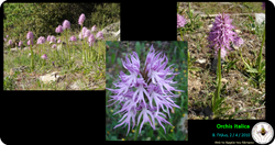 Orchis italica.png