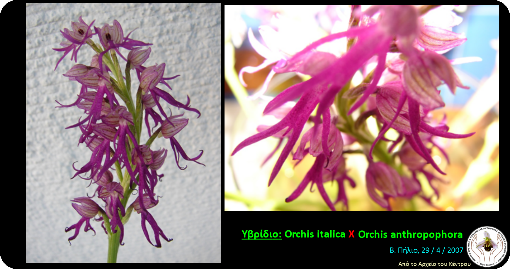 Hybrid Orchis italica - Orchis anthropophora.png
