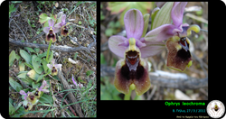 Ophrys leochroma.png