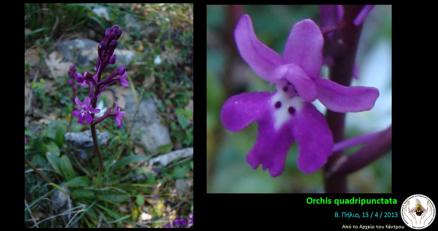 Orchis quadripunctata.png