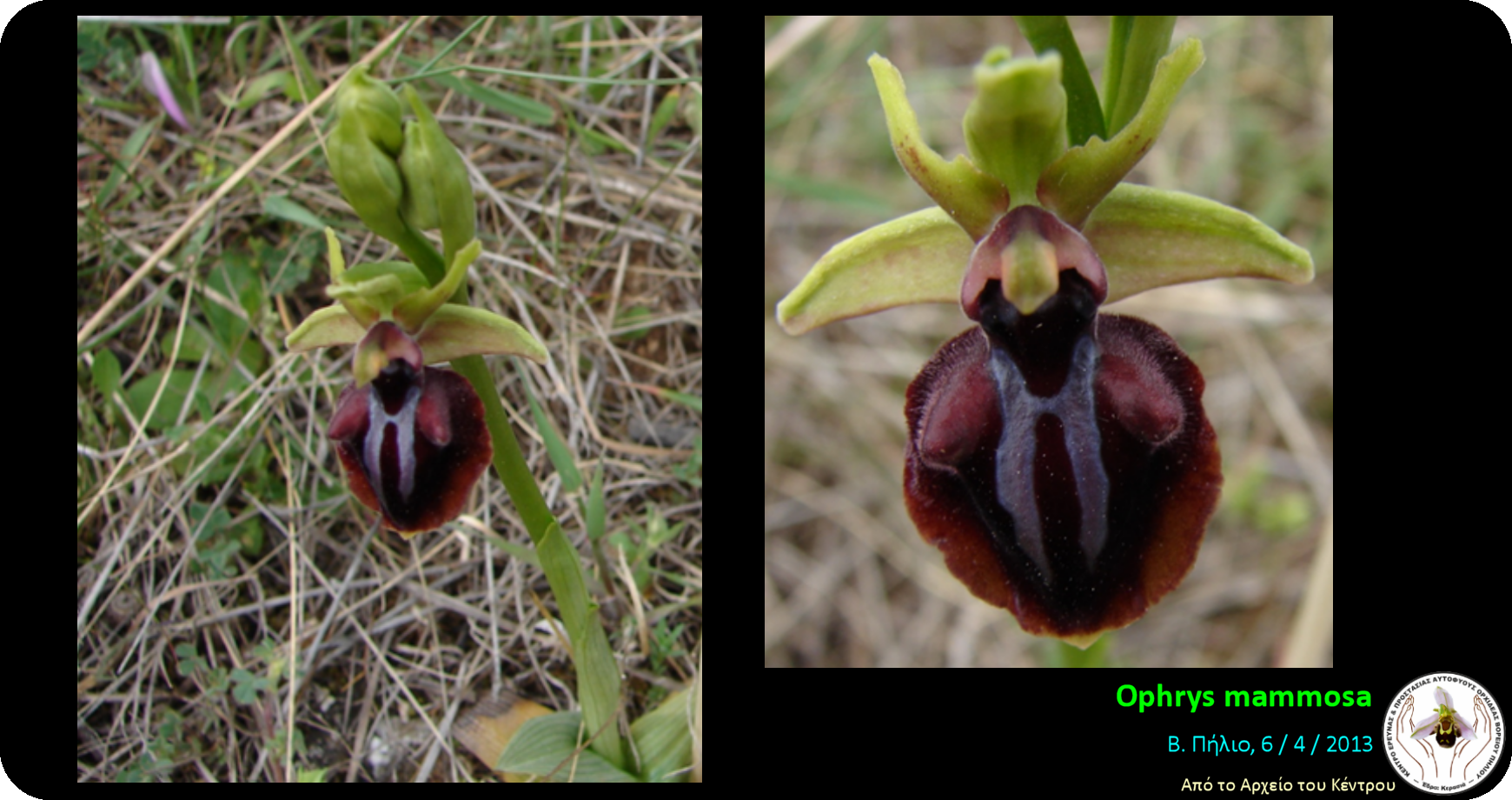 Ophrys mammosa.png