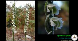 Spiranthes spiralis.png