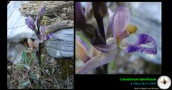 Limodorum abortivum.png