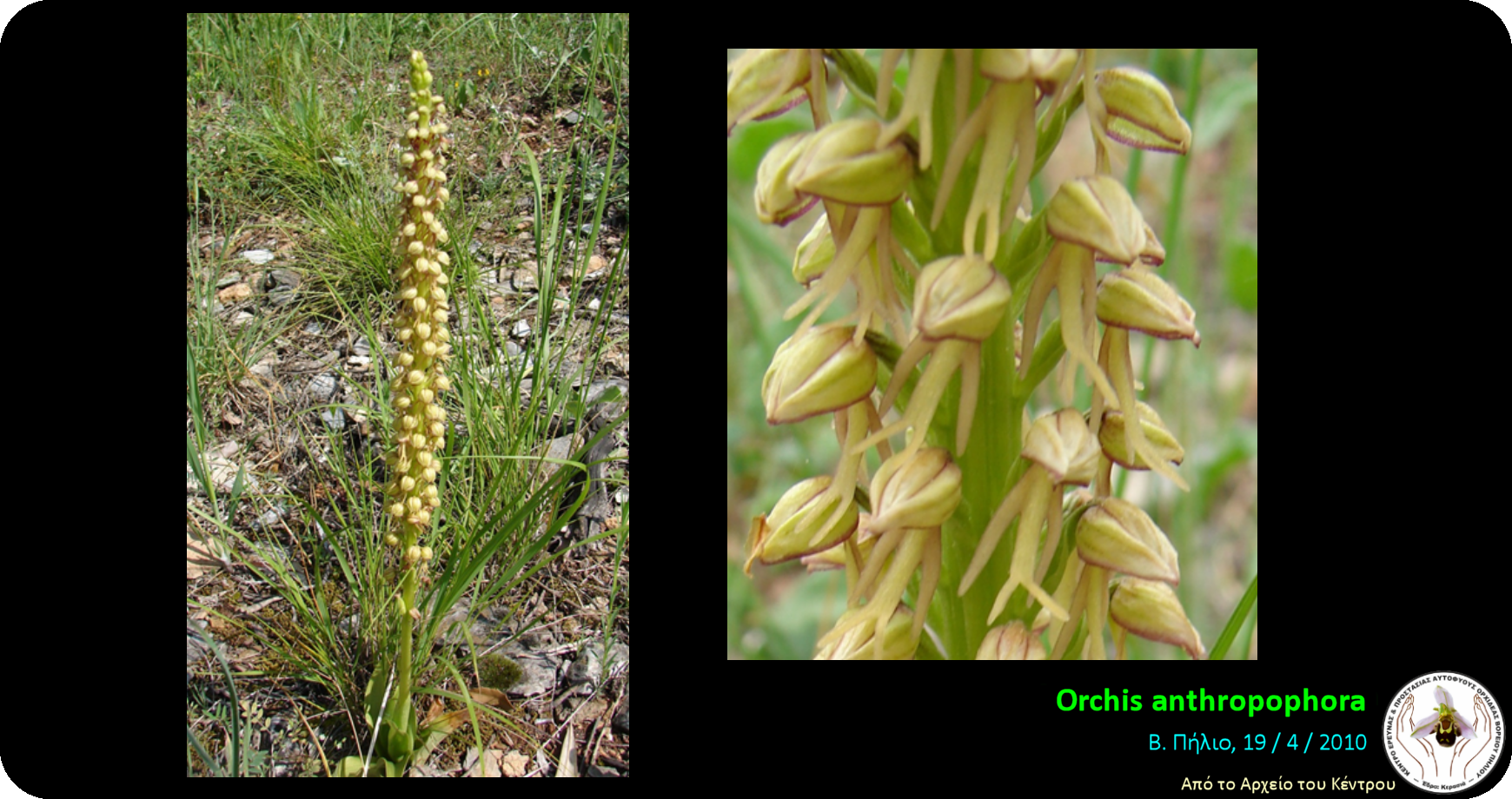 Orchis anthropophora.png