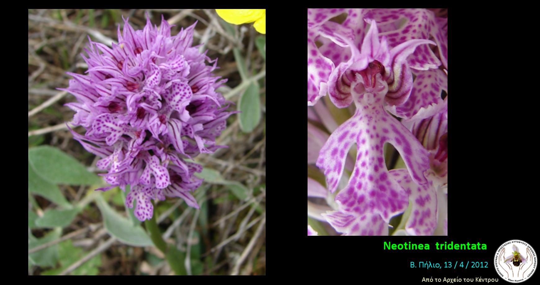Neotinea  tridentata.png
