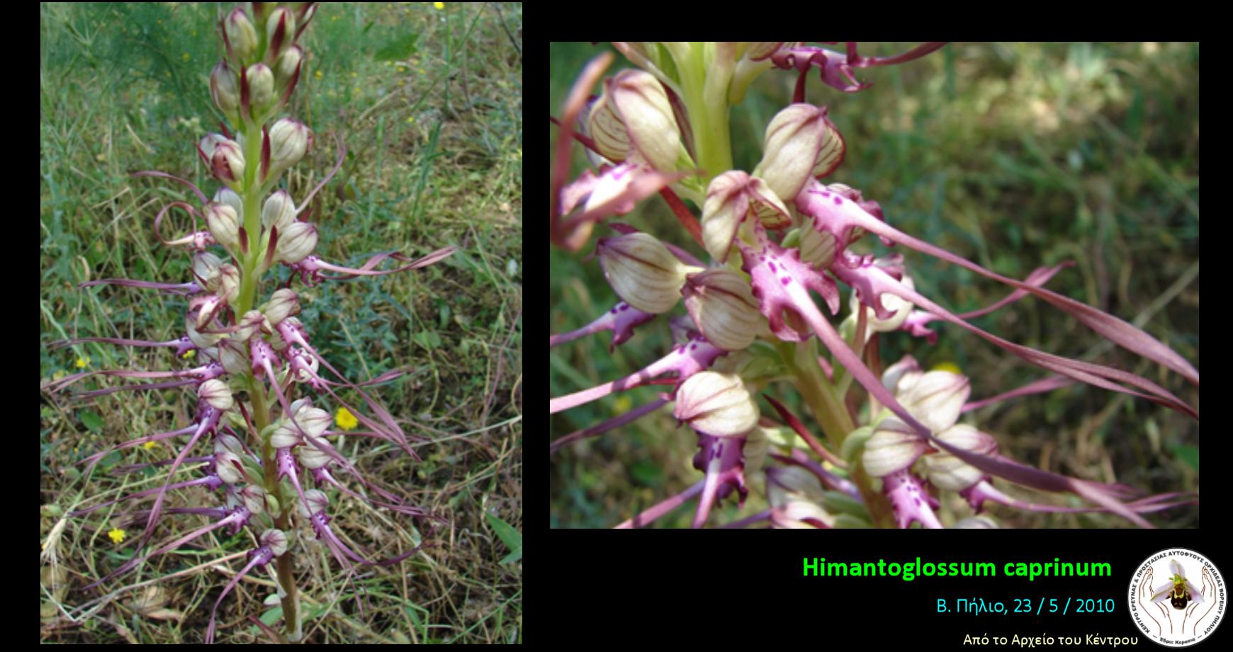 Himantoglossum caprinum.png