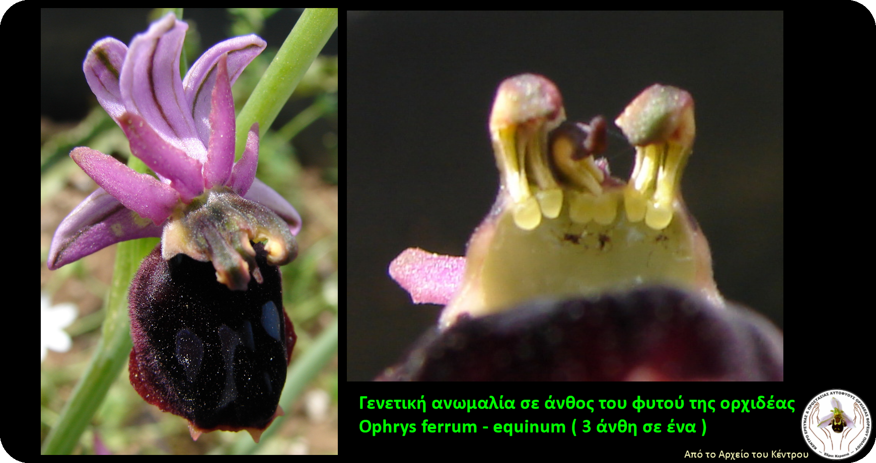 OphrysFerrum_GeneticAnomaly