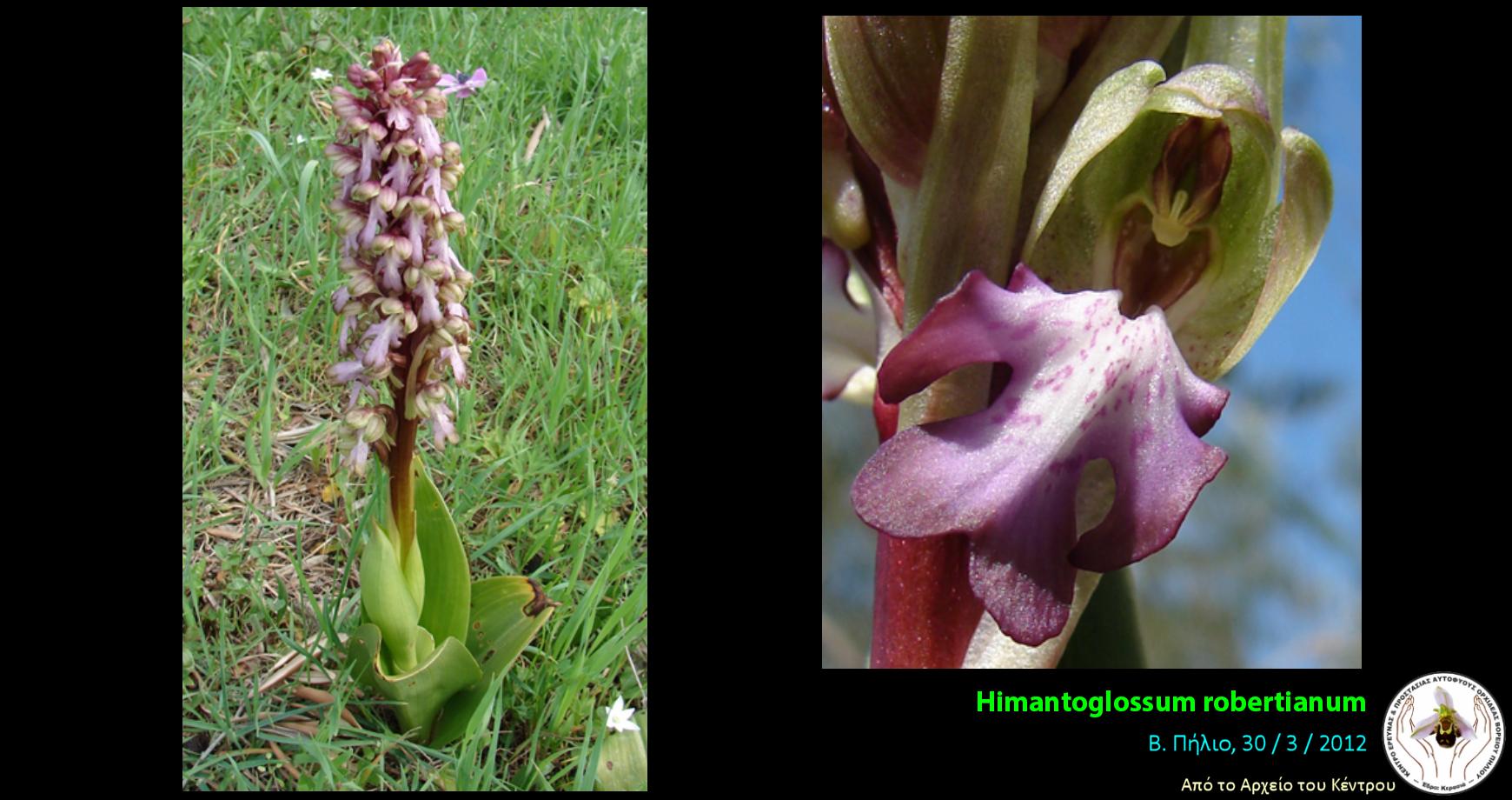 Himantoglossum robertianum