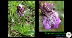 Ophrys pyrpurea ssp. Purpurea