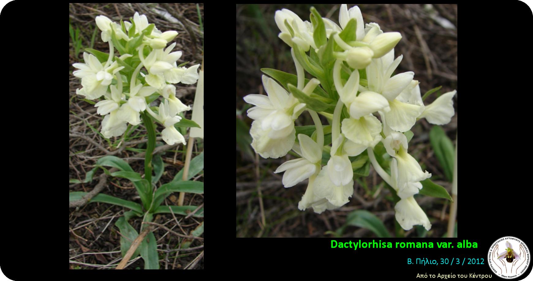Dactylorhiza romana var alba.png