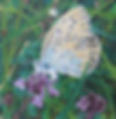 Large blue butterfly, thyme, egg laying