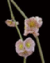 Succulents Cynanchum Collectors Corner