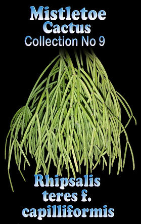 Rhipsalis Capilliformis Mistletoe cactus Collectors Corner