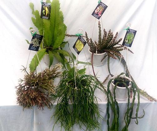 Rhipsalis Lepismium Hatiora Epiphyllum Mistletoe cactus Zygocactus Collectors Corner