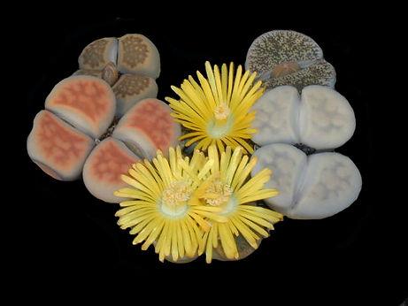 Succulents Lithops Stone Plants Collectors Corner