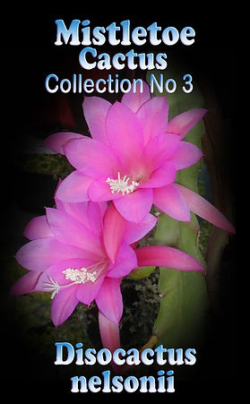 Discocactus Mistletoe cactus  Collectors Corner