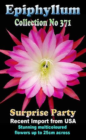 Epiphyllum Surprise Party Mistletoe cactus Collectors Corner