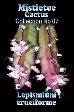 Lepismium cruciforme Mistletoe cactusCollectors Corner