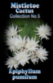 Epiphyllum Mistletoe cactus Collectors Corner