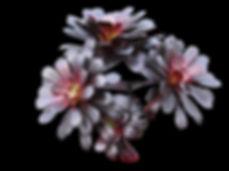 Succulents Aeonium Collectors Corner