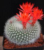 Cactus Cacti Collectors Corner