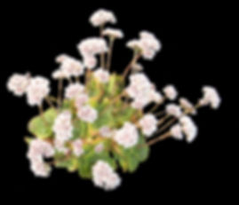 Succulents Crassula Collectors Corner
