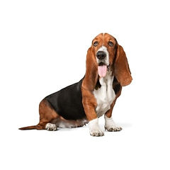 Bassett Hound Dog Training Evaluation.jp