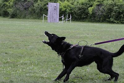Aggressive dog behavior modification at Cosmic Canine near Dallas