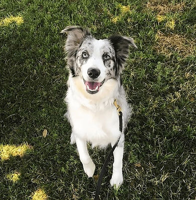 Miniature Australian Shepherd sitting with paw up during obedience training