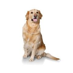 Golden Retriever in alumni dog training.