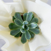 JosetteCacnio_succulents(119of39).jpg