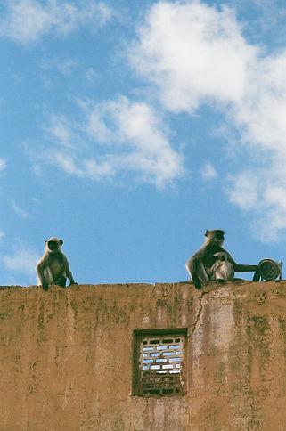 monkeys on blue sk.jpg