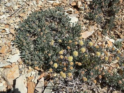 Tiehm's buckwheat (Eriogonum tiehmii)