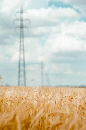 Golden wheat field.jpg