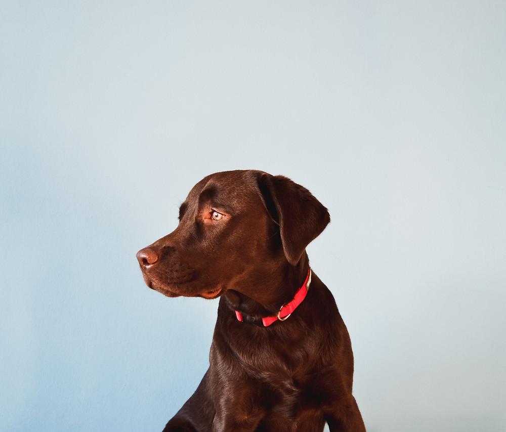 תת פעילות בלוטת התריס בכלבים