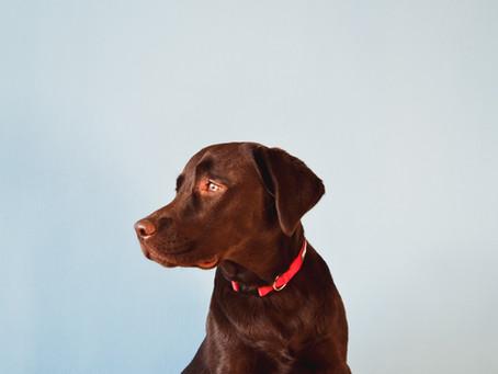 """תת פעילות של בלוטת התריס (""""היפותירואידיזם"""") בכלבים"""