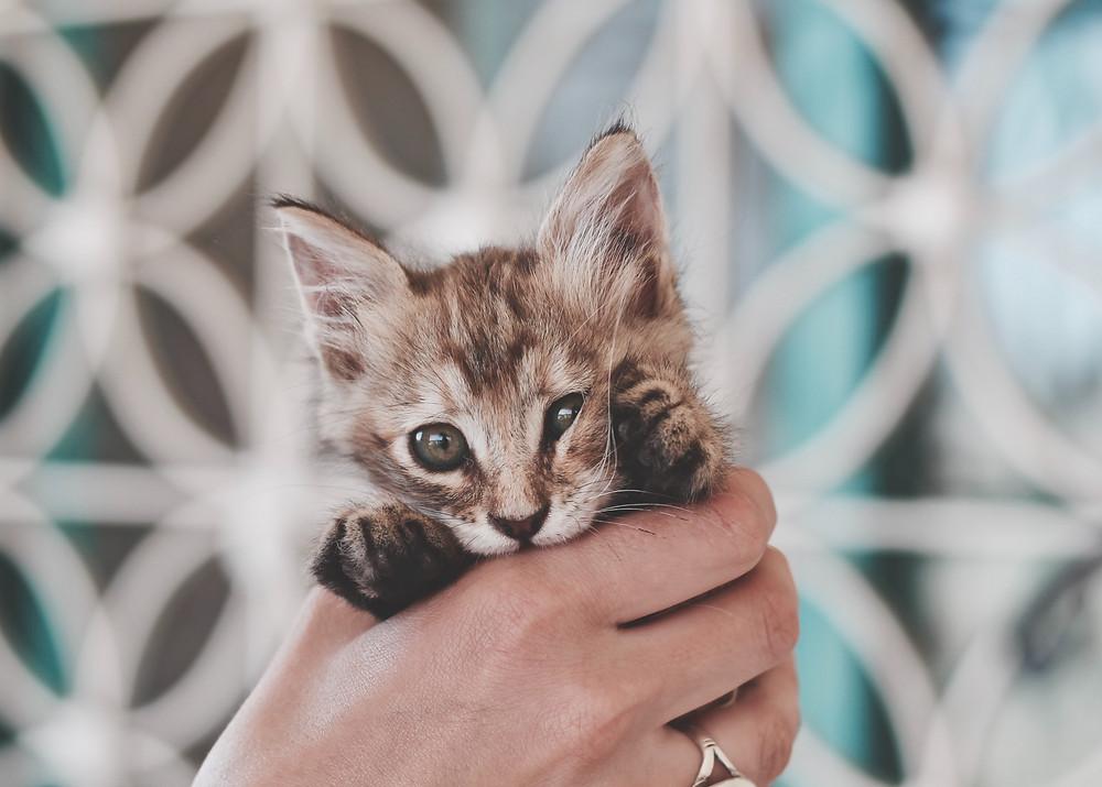 חתלתל בחתולים