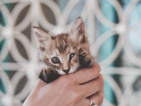 חתלתלת בחתולים
