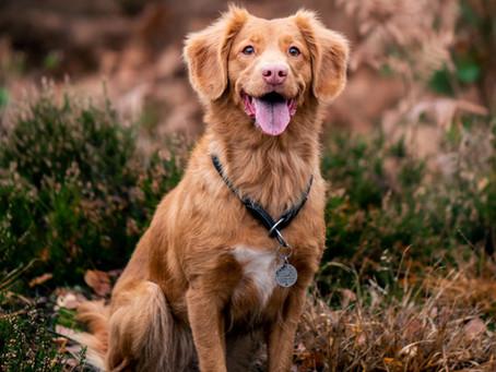 חסימה, דלקת ואבסס בשקים אנלים בכלבים