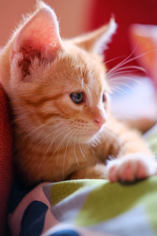 מחלות נשימה ויראליות בחתולים