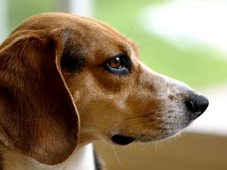 אלרגיה לפרעושים בכלבים