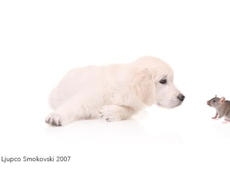 מחלת העכברת (לפטוספירה) בכלבים