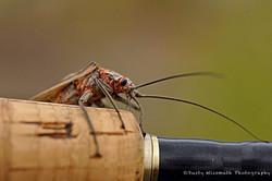 Salmonfly_Fotor