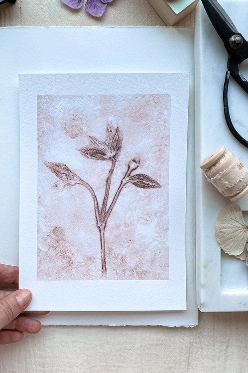 Clematis I 'milde Terrakotta'