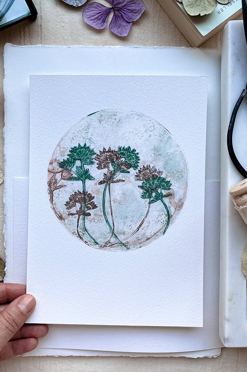 Astrantia I 'mild green - loganberry'