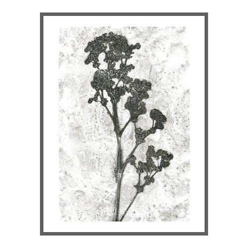 Lady's mantle 'petrel grey'