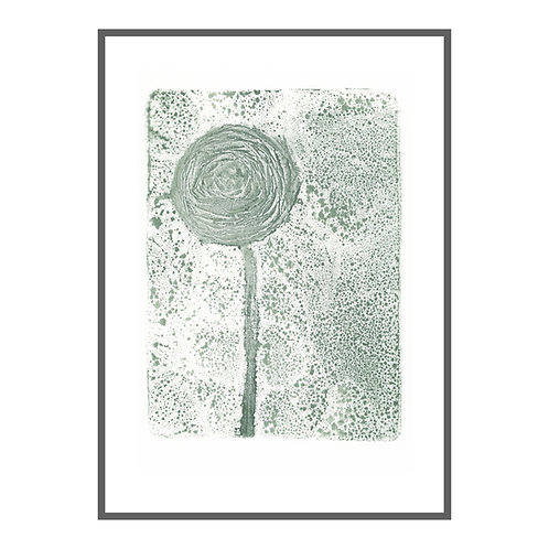 Ranunculus 'grey green'