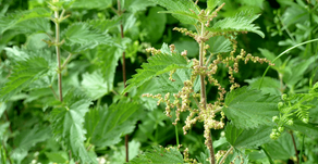 The Humble Nettle:  How to grow, pick & use