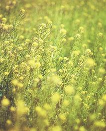 field of pollen producing flowers