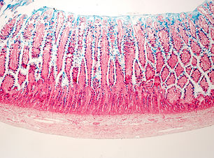 Wall of the small intestine stained with
